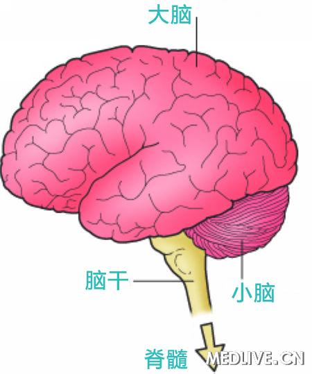 脑组织结构示意图