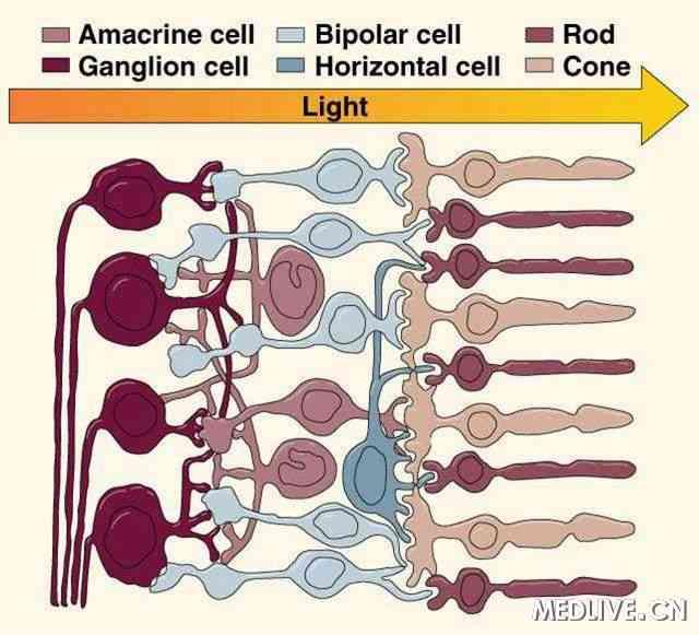 色素变性(rp)的动物模型中确定了视锥细胞的死亡方式