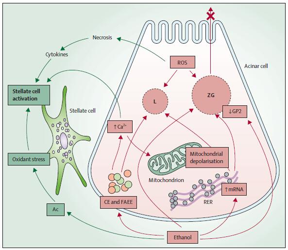 组胚实验胰腺手绘图