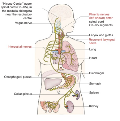 """""""呃逆反射""""的解剖示意图.任何影响大脑、纵膈、胸腔或腹腔内脏都"""