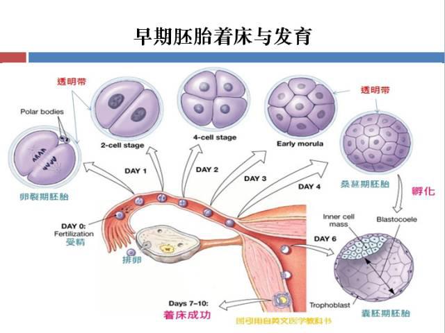 胚胎停育,到底是因为什么呢?