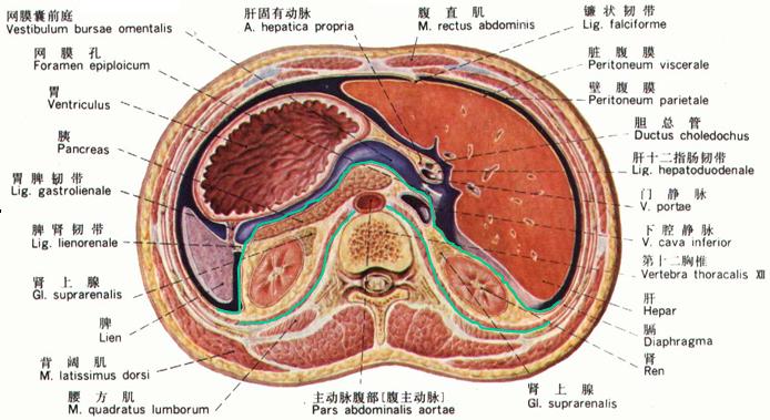 腹腔横断结构图