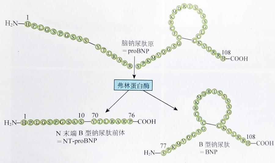 和一个环状结构含有32个氨基酸的bnp.