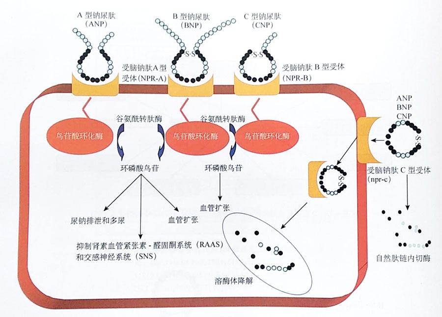 作者:黄磊 宁波市杭州湾医院心内科 本文为作者授权医脉通发布,未经授权请勿转载。 利钠肽(主要是B型利钠肽,BNP)作为一种生物标志物,在心力衰竭(心衰)的诊治方面发挥着重要作用。如果心衰患者体内的BNP水平原本就升高,为什么还要补充外源重组人BNP或者脑啡肽酶抑制剂呢?它们之间又存在着怎样的关系呢? 利钠肽家族 利钠肽家族主要包括心房利钠肽(ANP)、BNP、C型利钠肽(CNP)和D型利钠肽(DNP)。  图1 利钠肽家族结构图 ANP是首个被发现的利钠肽。早期实验发现,当心房舒张时可引发利钠作用,利用
