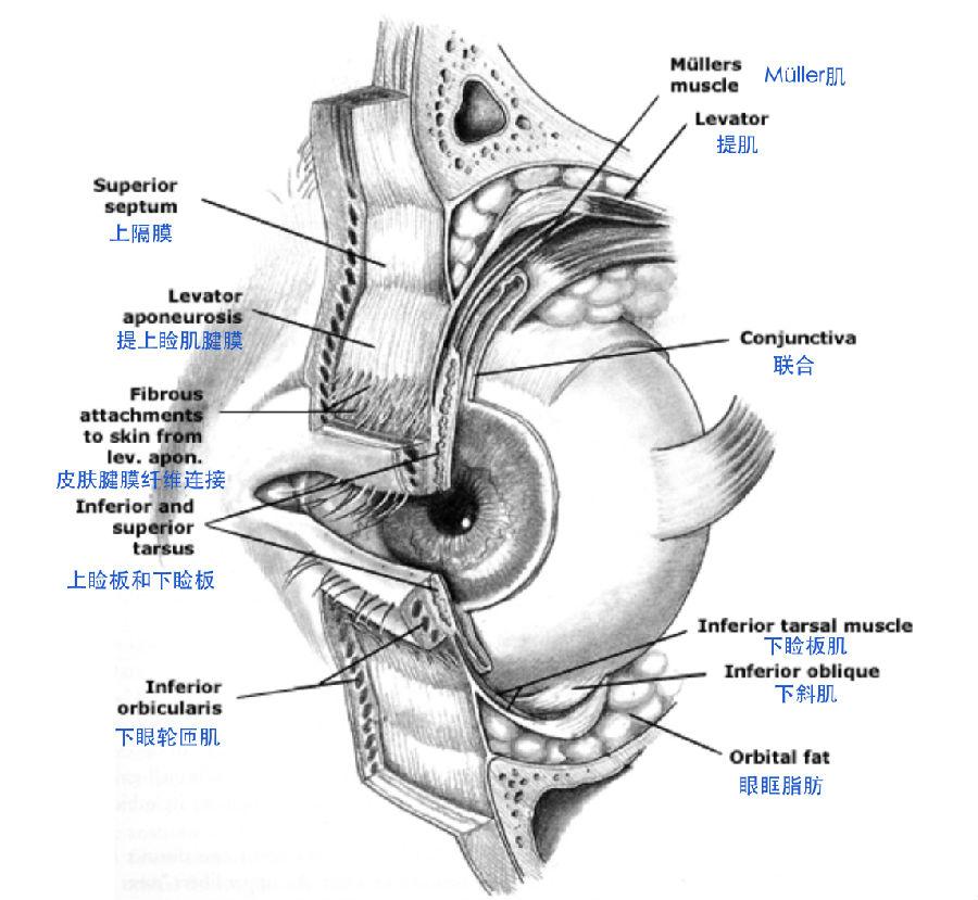 图4 眼眶解剖结构-图说解剖 上睑下垂 的定位诊断